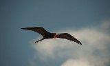 A-male-frigatebird-010