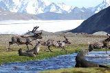 Hreindýr Suður-Georgíu