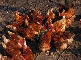 hønselaug